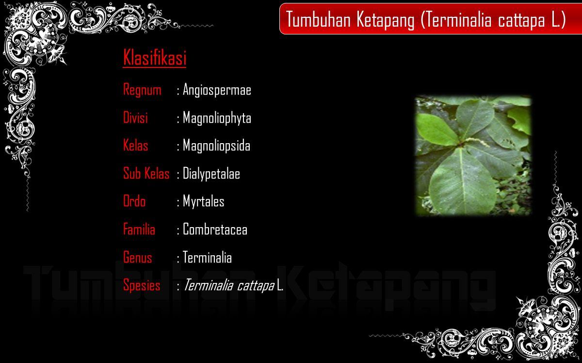 Tumbuhan Ketapang Tumbuhan Ketapang (Terminalia cattapa L.)