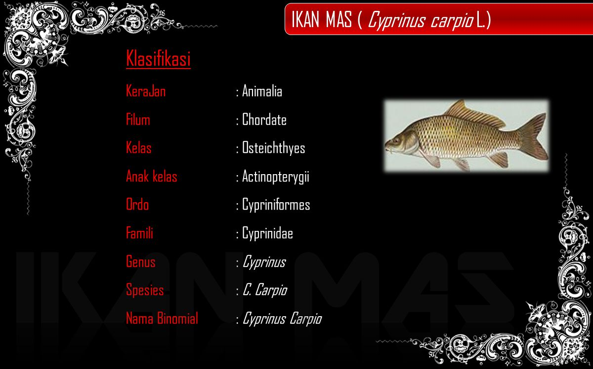 IKAN MAS IKAN MAS ( Cyprinus carpio L.) Klasifikasi KeraJan : Animalia