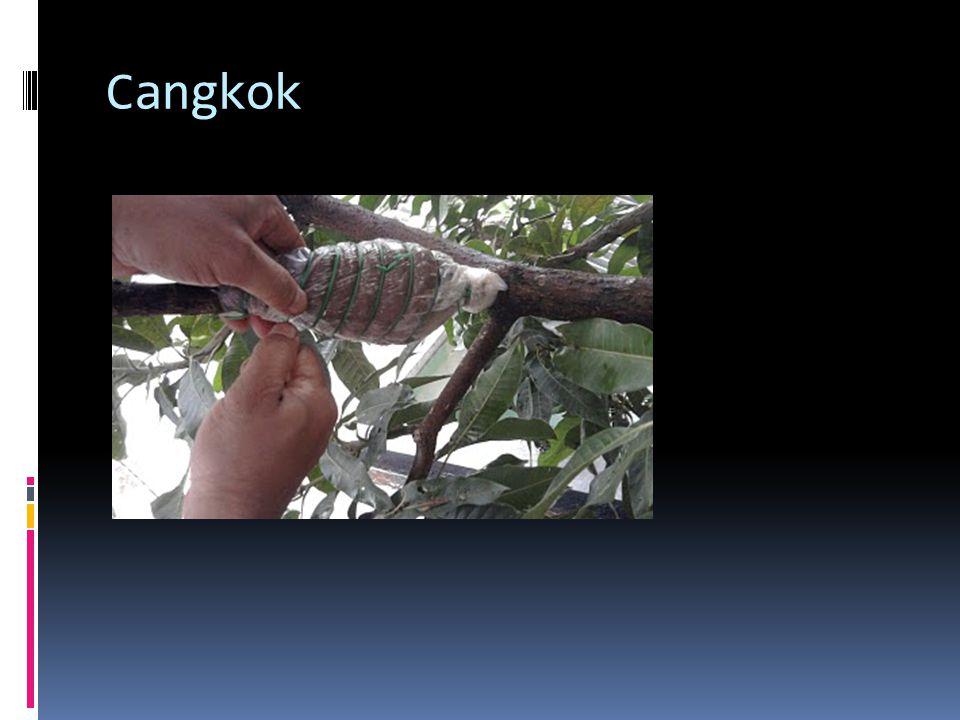 Cangkok