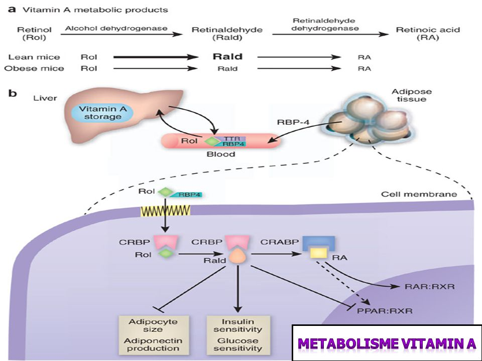 Metabolisme Vitamin A