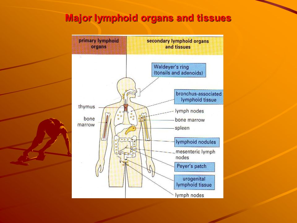 Major lymphoid organs and tissues