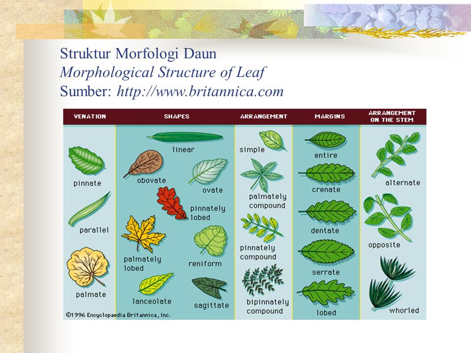 Struktur Morfologi Daun Morphological Structure of Leaf Sumber: http://www.britannica.com
