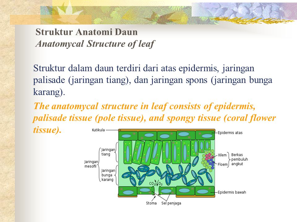 Struktur Anatomi Daun Anatomycal Structure of leaf