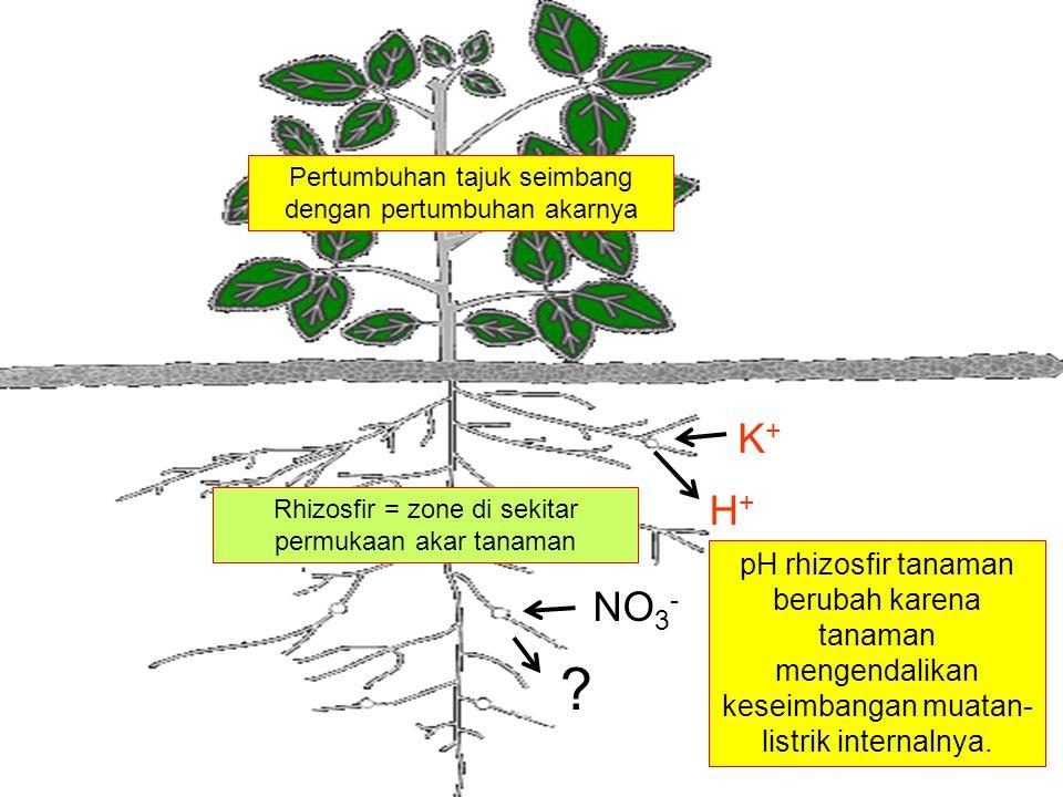 Pertumbuhan tajuk seimbang dengan pertumbuhan akarnya