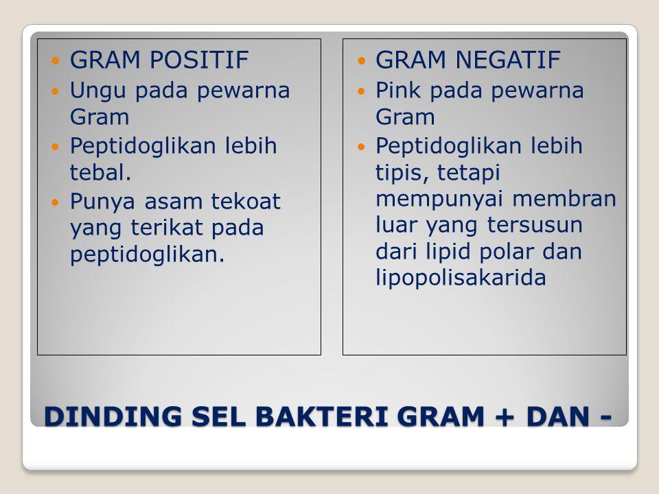 DINDING SEL BAKTERI GRAM + DAN -