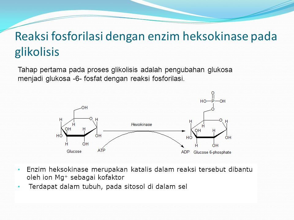 Reaksi fosforilasi dengan enzim heksokinase pada glikolisis