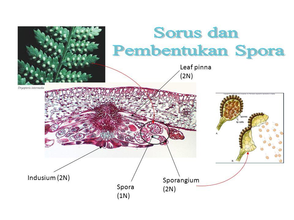 Sorus dan Pembentukan Spora Leaf pinna (2N) Indusium (2N)