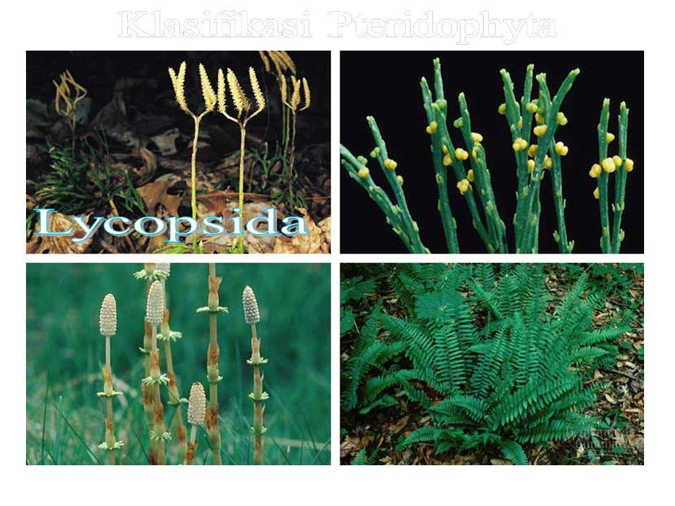 Klasifikasi Pteridophyta
