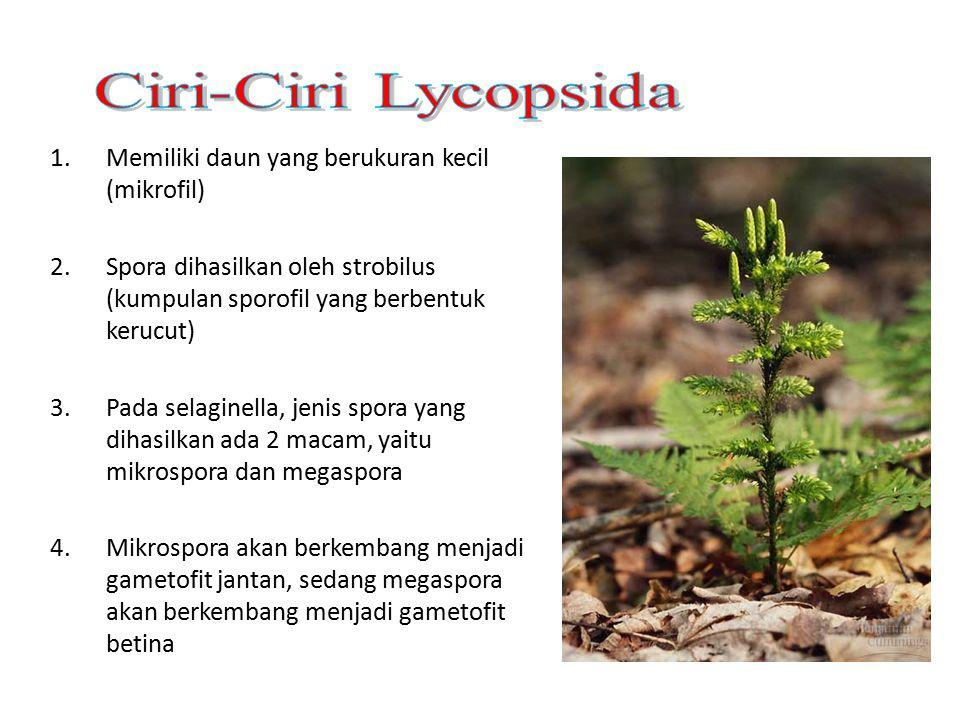 Ciri-Ciri Lycopsida Memiliki daun yang berukuran kecil (mikrofil)