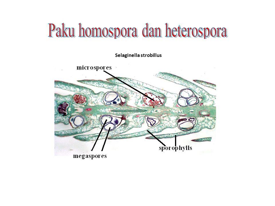 Selaginella strobillus