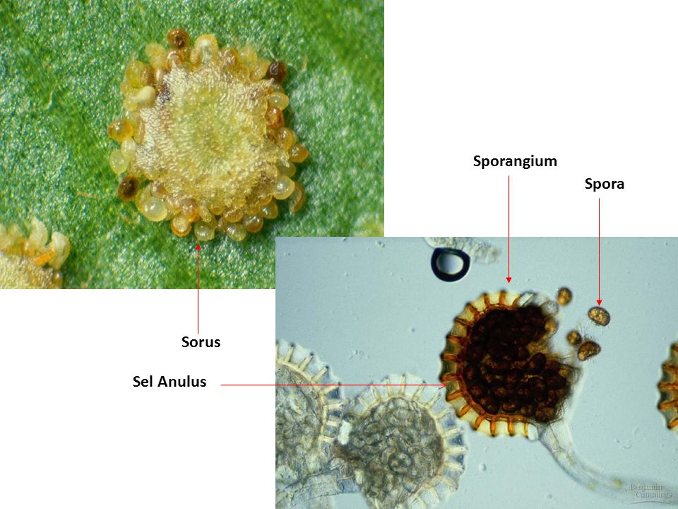 Sporangium Spora Sorus Sel Anulus