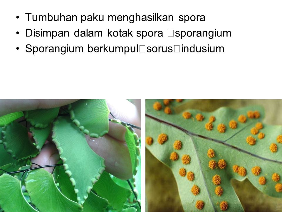 Tumbuhan paku menghasilkan spora