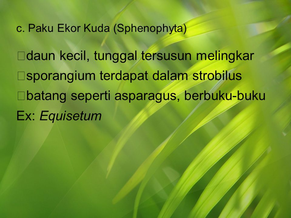 c. Paku Ekor Kuda (Sphenophyta)