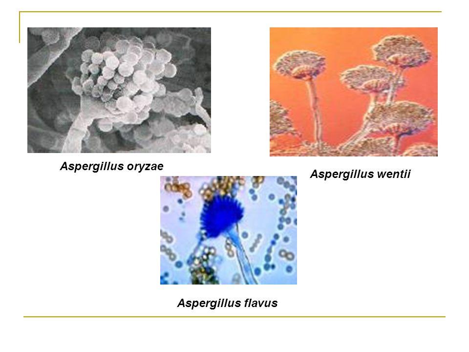 Aspergillus oryzae Aspergillus wentii Aspergillus flavus