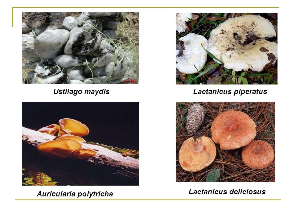 Ustilago maydis Lactanicus piperatus Lactanicus deliciosus Auricularia polytricha