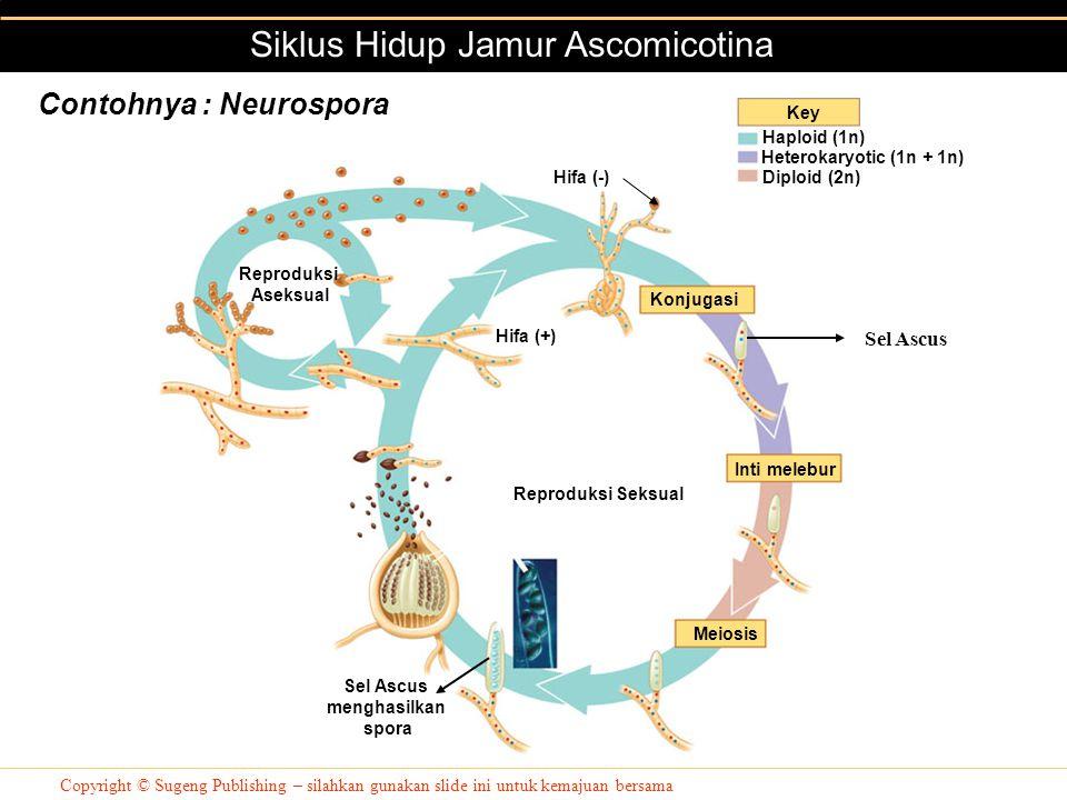 Siklus Hidup Jamur Ascomicotina