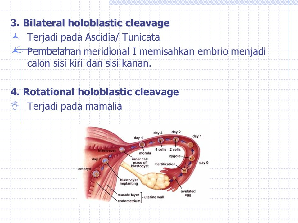 3. Bilateral holoblastic cleavage