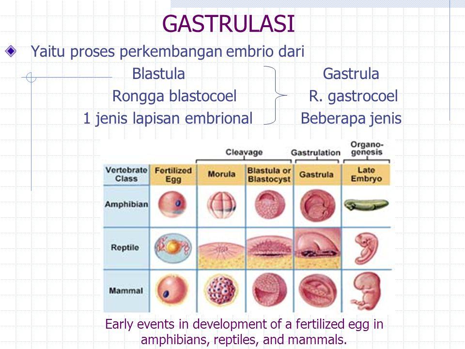 GASTRULASI Yaitu proses perkembangan embrio dari Blastula Gastrula