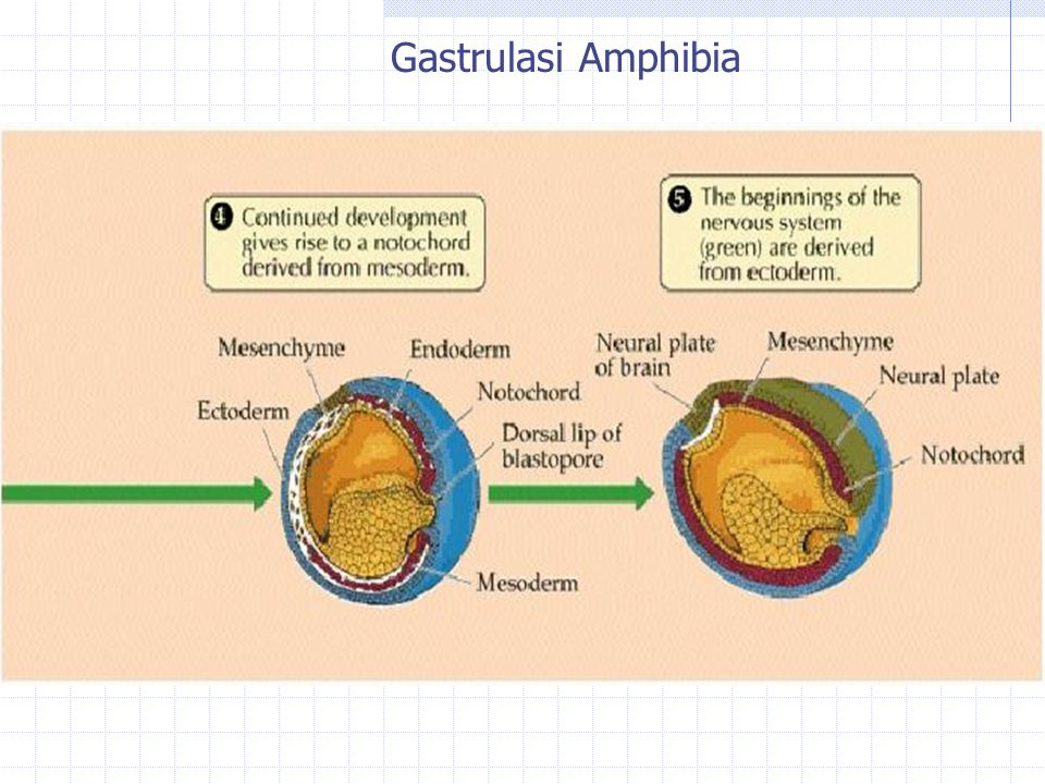 Gastrulasi Amphibia
