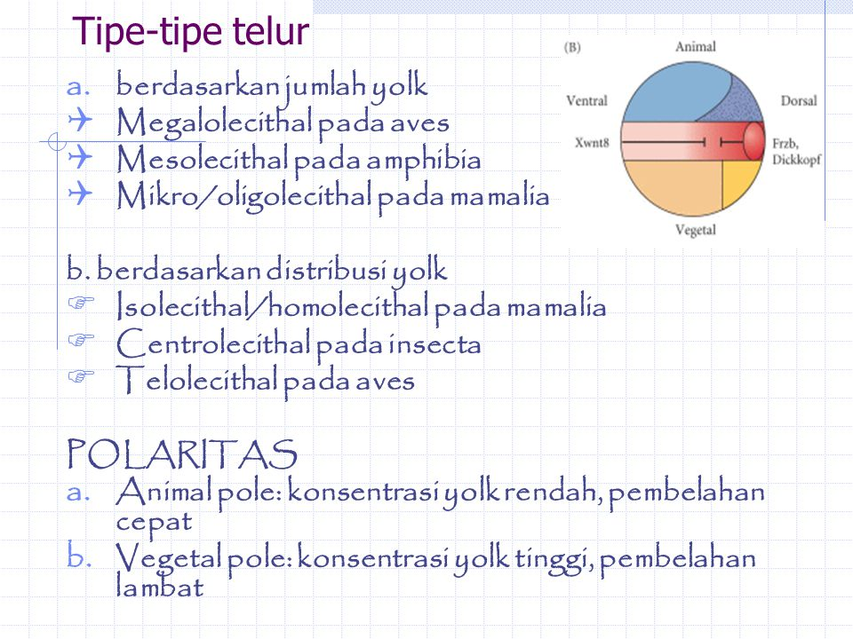 Tipe-tipe telur berdasarkan jumlah yolk Megalolecithal pada aves