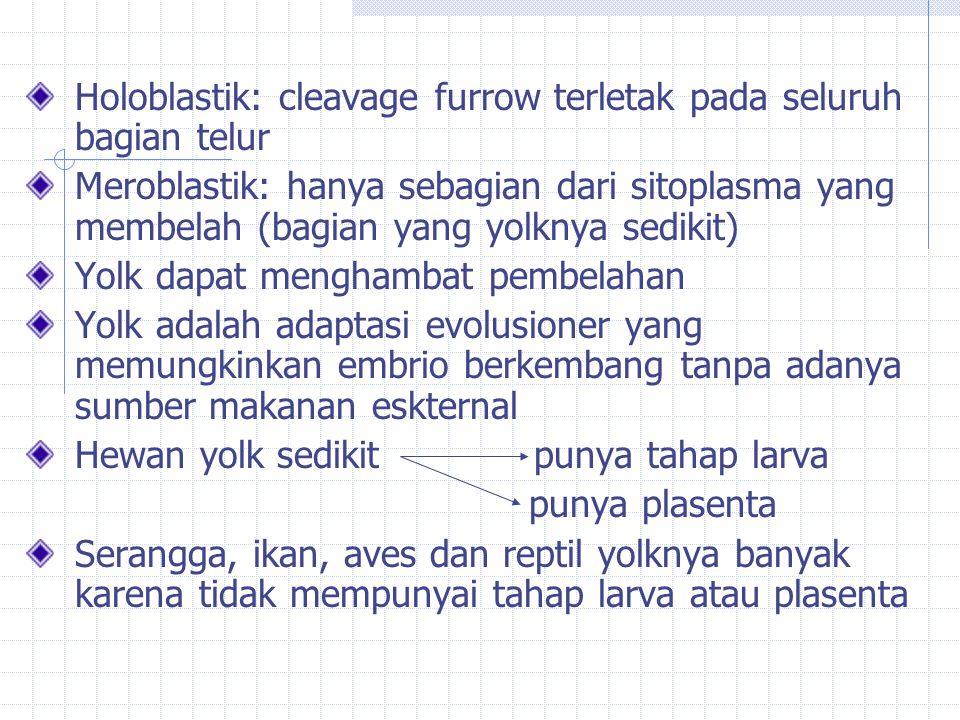 Holoblastik: cleavage furrow terletak pada seluruh bagian telur