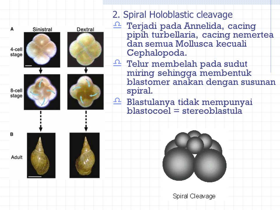 2. Spiral Holoblastic cleavage