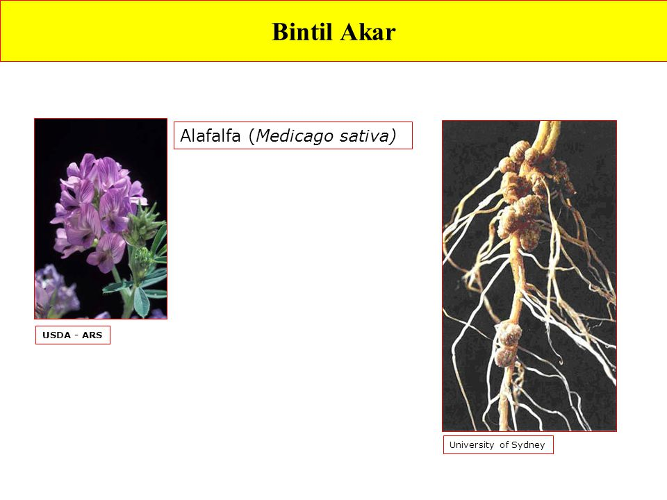 Bintil Akar Alafalfa (Medicago sativa) USDA - ARS University of Sydney