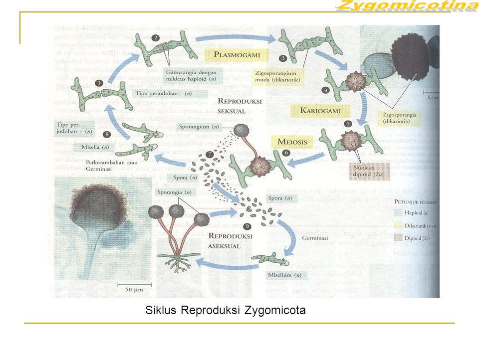 Siklus Reproduksi Zygomicota