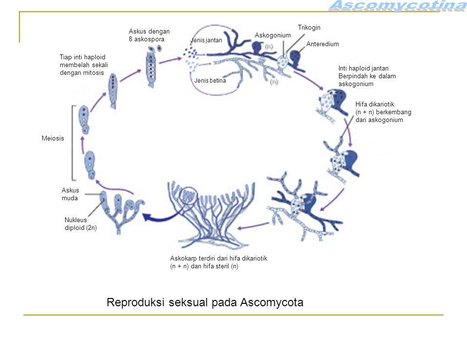 Reproduksi seksual pada Ascomycota