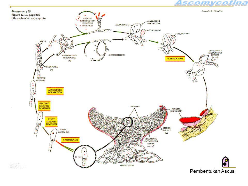 Ascomycotina Pembentukan Ascus