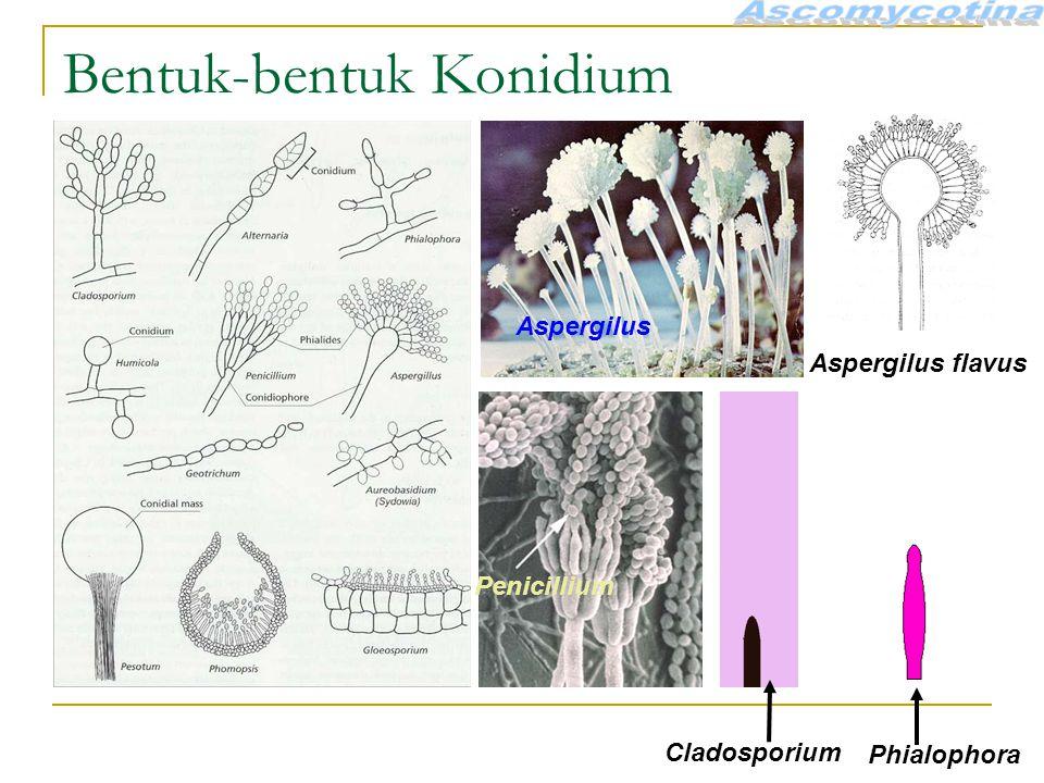 Bentuk-bentuk Konidium