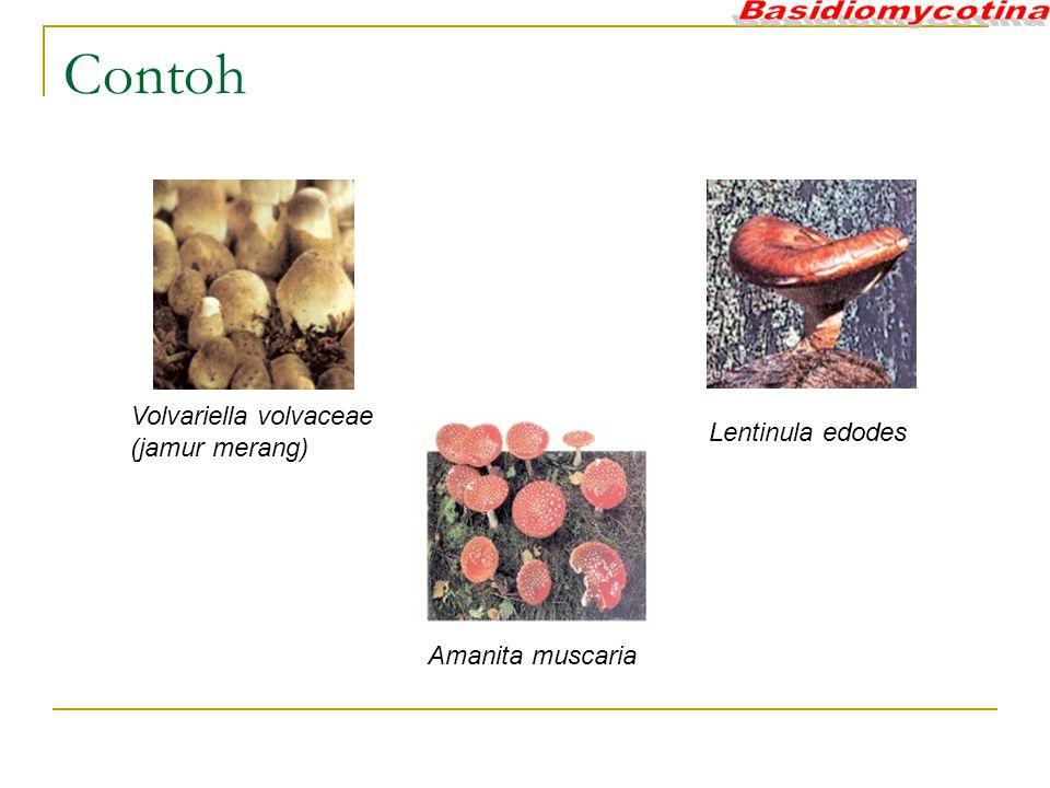 Contoh Volvariella volvaceae (jamur merang) Lentinula edodes