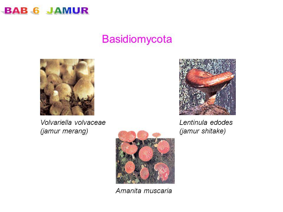 Basidiomycota Volvariella volvaceae (jamur merang) Lentinula edodes
