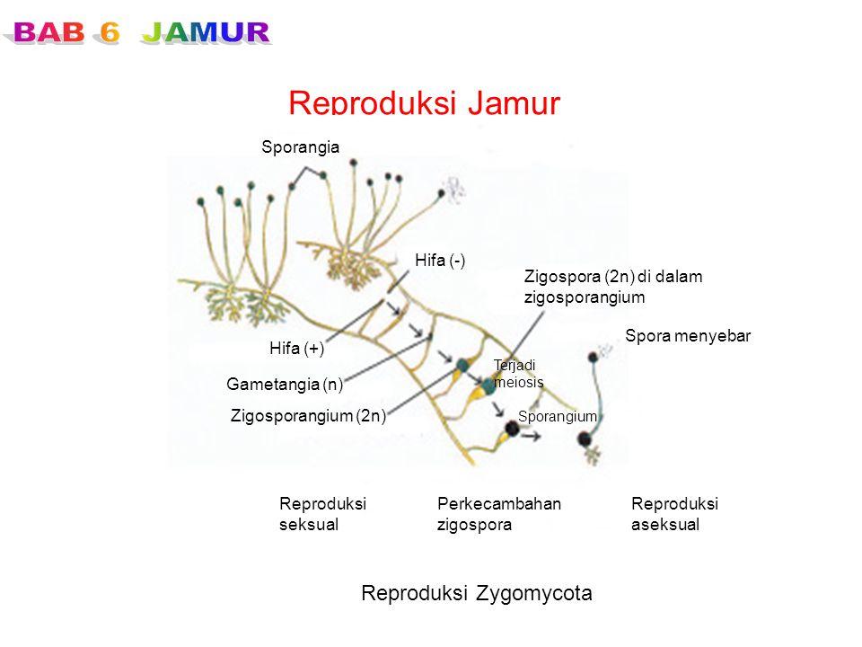 Reproduksi Jamur Reproduksi Zygomycota Sporangia Hifa (-)