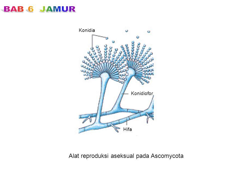 Alat reproduksi aseksual pada Ascomycota
