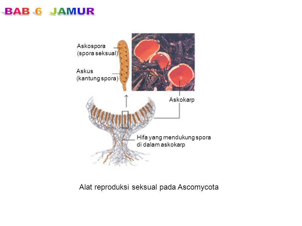 Alat reproduksi seksual pada Ascomycota