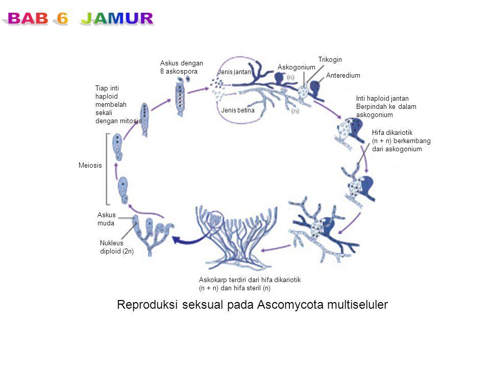Reproduksi seksual pada Ascomycota multiseluler