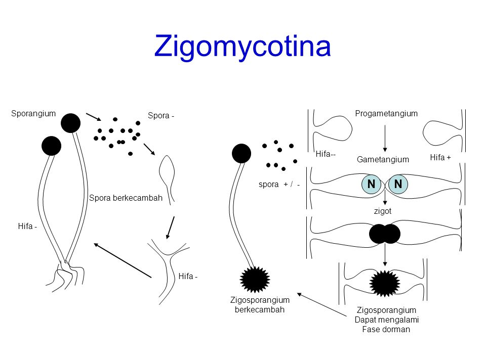 Zigomycotina N N N N Sporangium Progametangium Spora - Hifa--