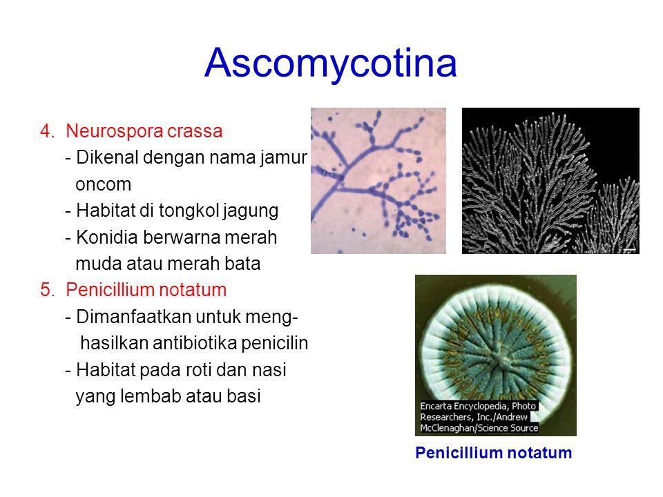 Ascomycotina 4. Neurospora crassa - Dikenal dengan nama jamur oncom