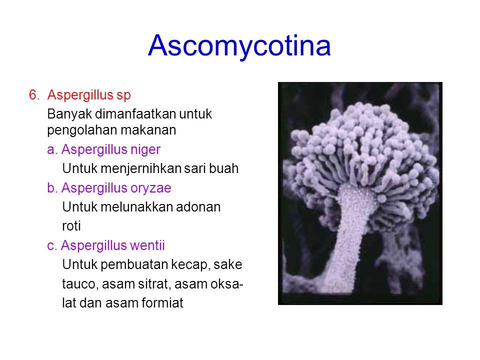 Ascomycotina 6. Aspergillus sp