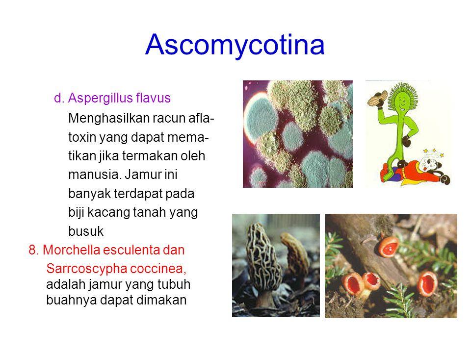 Ascomycotina d. Aspergillus flavus Menghasilkan racun afla-