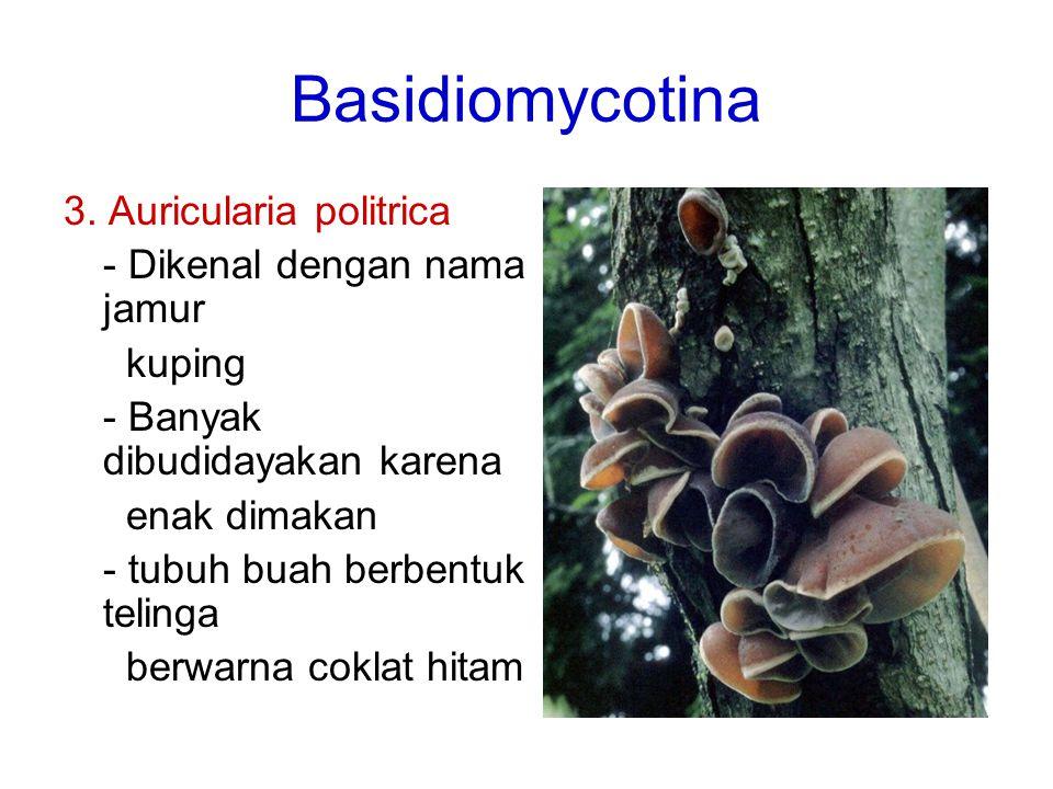 Basidiomycotina 3. Auricularia politrica - Dikenal dengan nama jamur