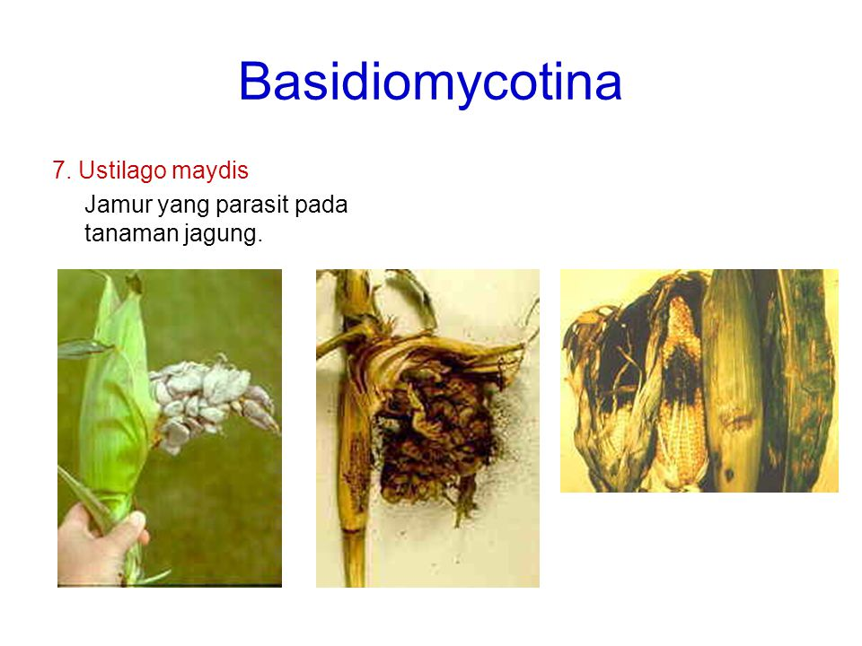 Basidiomycotina 7. Ustilago maydis