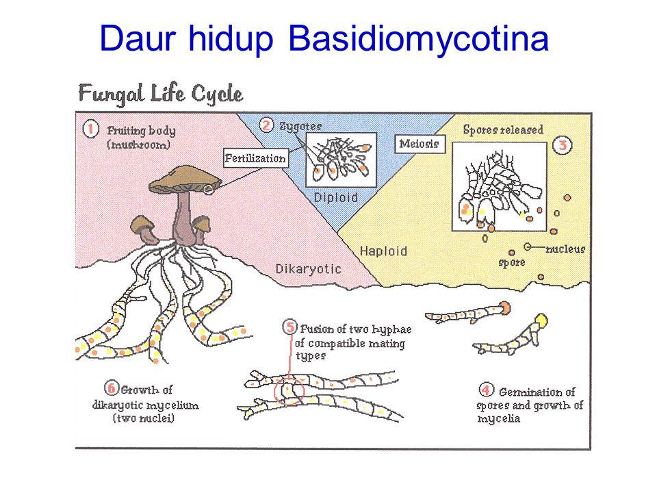 Daur hidup Basidiomycotina