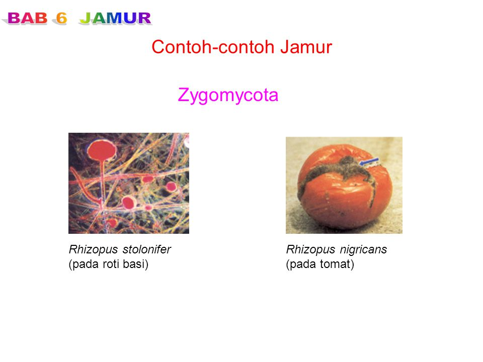 Contoh-contoh Jamur Zygomycota Rhizopus stolonifer (pada roti basi)