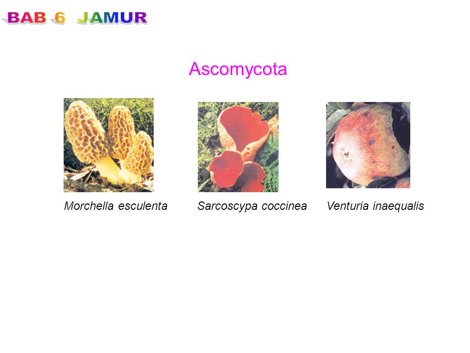 Ascomycota Morchella esculenta Sarcoscypa coccinea Venturia inaequalis