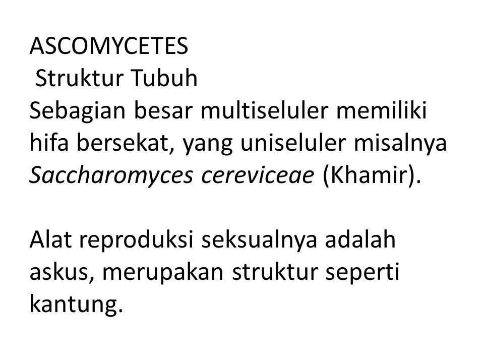 ASCOMYCETES Struktur Tubuh Sebagian besar multiseluler memiliki hifa bersekat, yang uniseluler misalnya Saccharomyces cereviceae (Khamir).