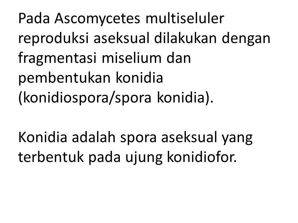 Pada Ascomycetes multiseluler reproduksi aseksual dilakukan dengan fragmentasi miselium dan pembentukan konidia (konidiospora/spora konidia).