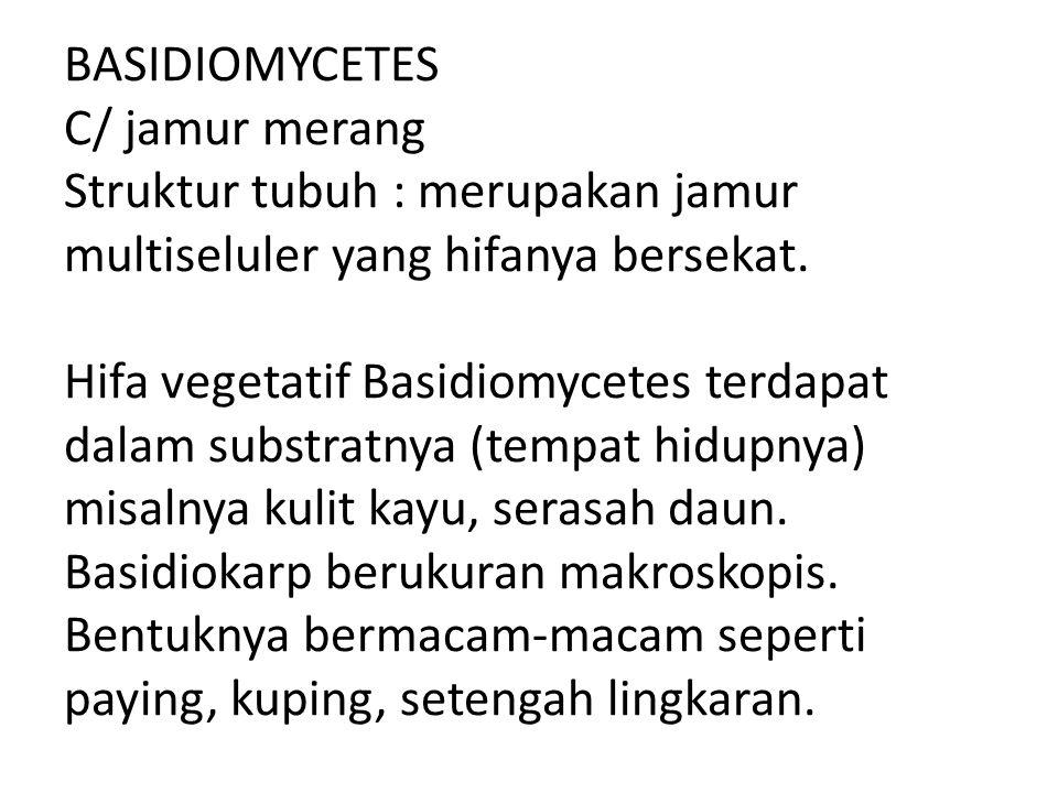 BASIDIOMYCETES C/ jamur merang Struktur tubuh : merupakan jamur multiseluler yang hifanya bersekat.