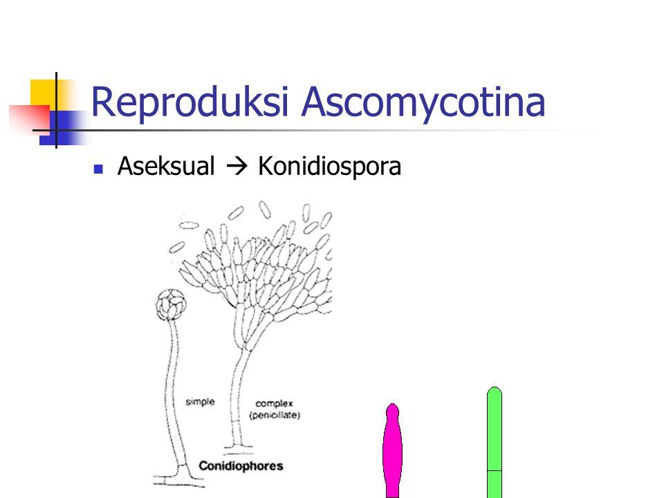 Reproduksi Ascomycotina